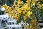 Włoski Dzień Kobiet pachnie mimozami