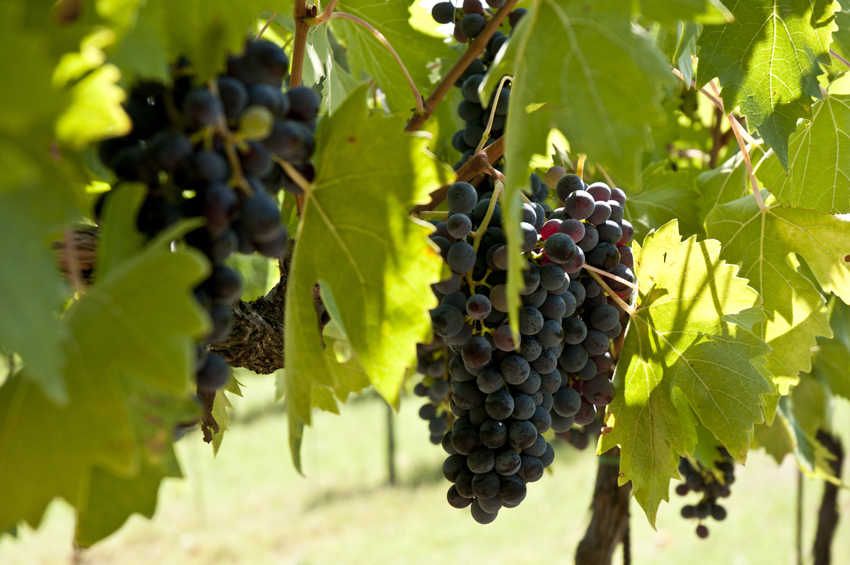 szczep winorośli czerwonej