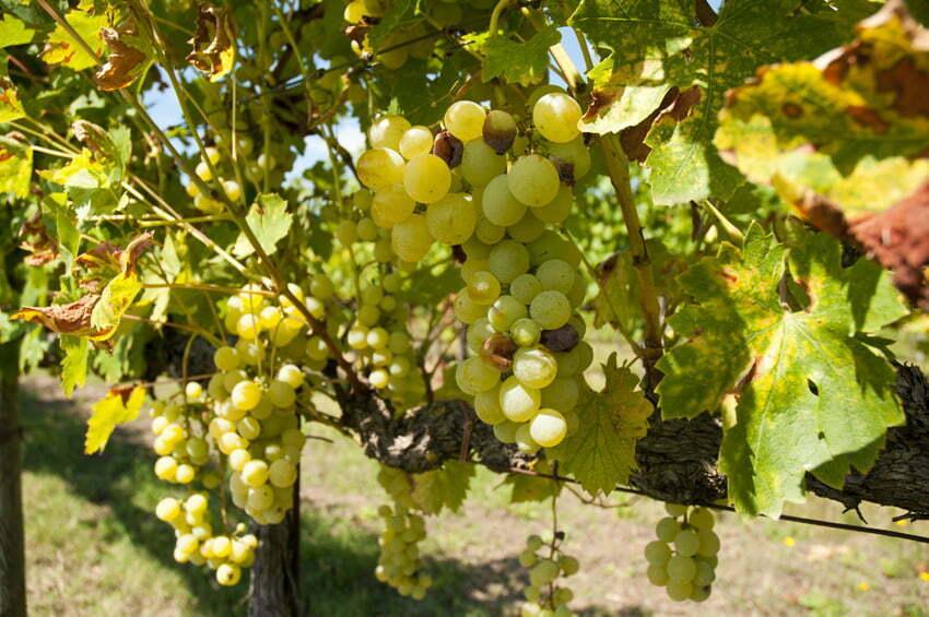 szczep winorośli białej