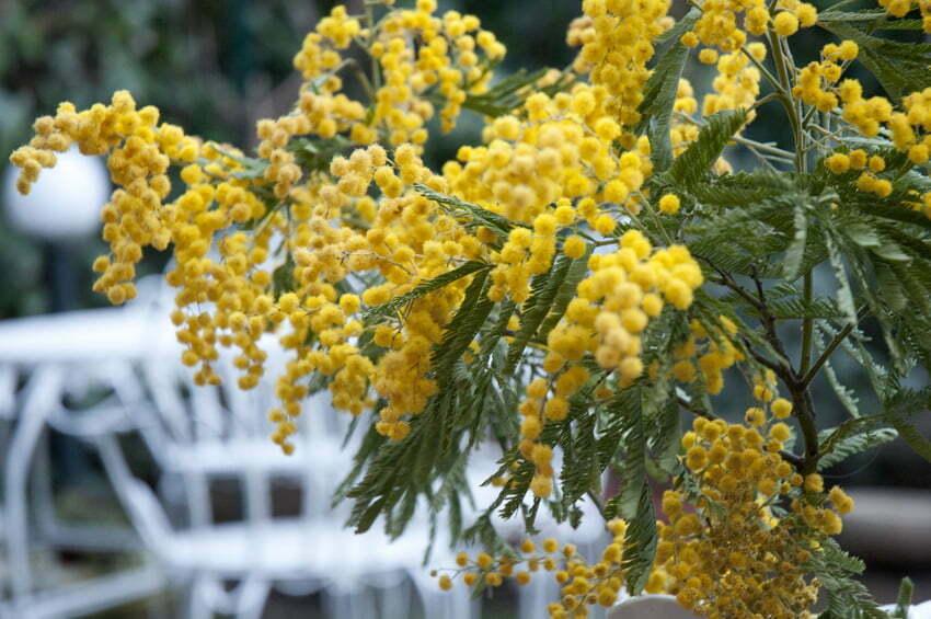 fiori della mimosa