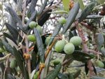 Oliwa z oliwek – śródziemnomorskie płynne złoto